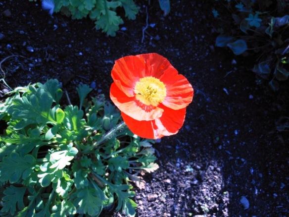 Oriental poppy Alcatraz Island Garden tour