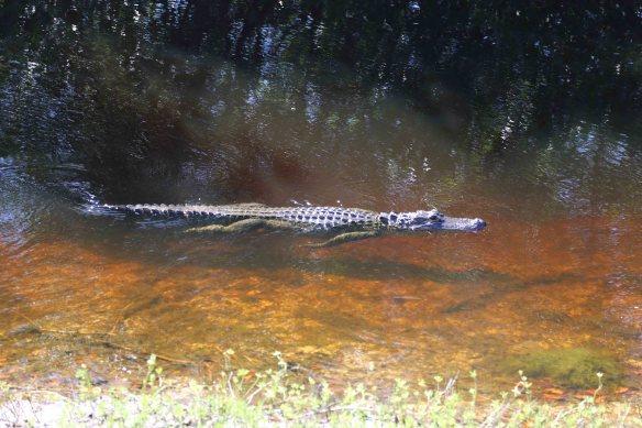 gator 4