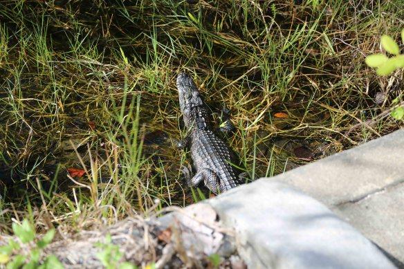 small gator